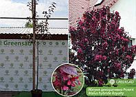 Яблоня декоративная Роялти (Royalty), 1,8-2,0 метра