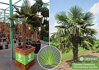 Пальма (малая), 1,2-1,5 метра
