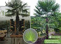 Пальма (большая), 1,8-2,0 метра
