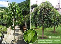 Шелковица плакучая Пендула (Pendula), 2,2-2,4 метра
