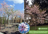 Вишня подшёрстная Аутумналис Розеа (Autumnalis Rosea), 2,5-3,0 метра