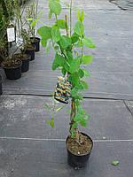 Жимолость - Lonicera tellmanniana (высота 30-40см, горшок 2л)