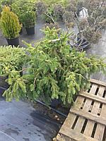Ель обыкновенная - Picea abies 'Acrocona' (высота 120 см, горшок 40л)