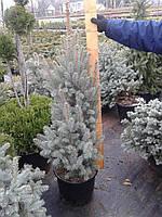 Ель голубая (колючая) - Picea pungens &039;Iseli Fastigiate (высота 80-100 см, горшок 20л)