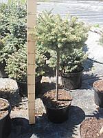 Ель голубая (колючая) - Picea pungens 'Glauca Globosa' (высота 60-80 см, горшок 20/27л)