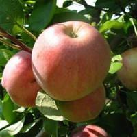 Саженцы яблони Старк Эрлиест