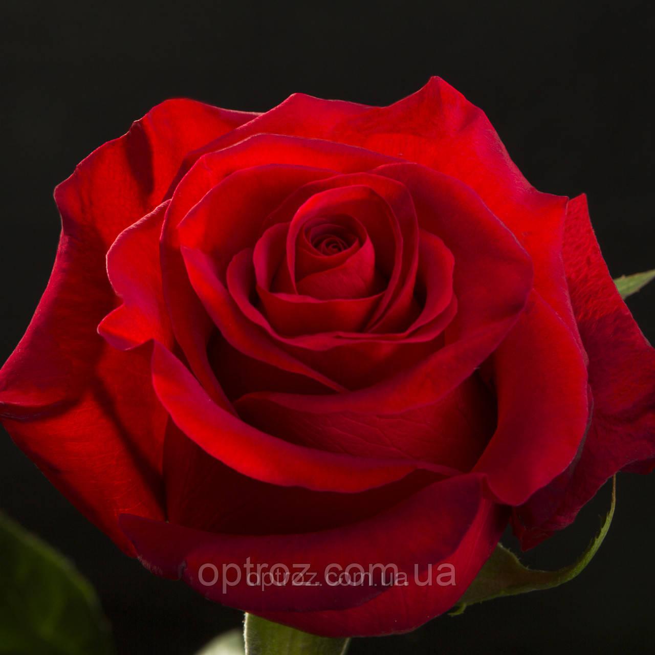 zakaz-tsveti-optom-v-odesskoy-oblasti-rozi