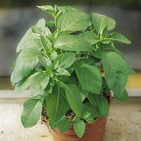Семена базилика Мистер Барнс сорта однолетнего ароматного зеленого для приготовления блюд