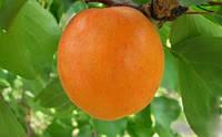 Саженцы абрикоса Лескоре
