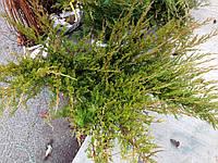 Можжевельник Mint julep 1м диаметр