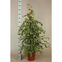 Крупномеры Ficus Be Golden King Extra, 24, Фикус, 145