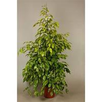 Крупномеры Ficus Be Reginald Extra, 24, Фикус, 145