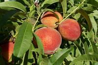 Саженцы персика Кардинал
