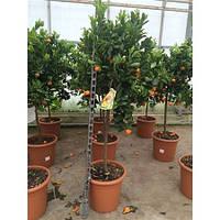 Крупномеры Citrus Calamondin On Stem, 35, Цитрус, 150