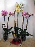 Орхидея фаленопсис Concorde