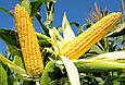 Семена кукурузы ЛГ 30315 /LG 30.315 ( ФАО – 280), фото 2