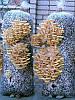 Как выращивать грибы вешенки. Интенсивный способ выращивания вешенок
