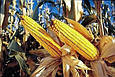 Семена кукурузы П8521/ P8521 (ФАО 220), фото 2