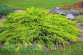Можжевельник средний Голд Киссен \ Juniperus media Goldkissen ( С1.5л ) саженцы, фото 2