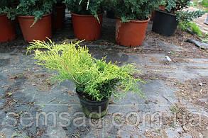 Можжевельник средний Олд Голд \ Juniperus media Old Gold ( С 1.5л) саженцы, фото 2