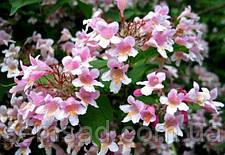 """Кольквиция прекрасная Пинк Клауд \ Kolkwitzia amabilis """"Pink Cloud"""" ( саженцы), фото 2"""