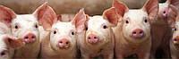 22001 Комбікорм для свиней пуріна® престартер повнораціонний комбікорм для поросят вагою 0-12 кг мішок 25кг