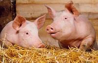Дріжджі Saccharomyces Cerevisiae – ефективний пробіотик для свиней