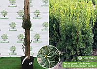 Тис ягодный Грин Рокет (Green Rocket), 90-100 см