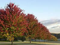 Клен Фримана Отом Блейз (Autumn Blaze), 3,5-4,0 метра