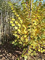 Липа мелколистная Винтер Оранж (Winter Orange), 2,4-2,6 метра