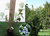 Голубика Патриот, 30-40 см
