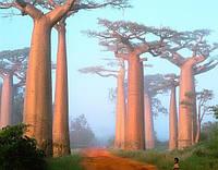 Баобаб Африканський, насіння для бонсай, Адансонія Пальчата
