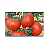 Семена томат  Катя F1 1000 сем. Никерсон-Цваан
