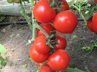 Томат Хитомакс F1 Kitano Seeds 500 семян, фото 1
