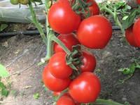 Томат Хитомакс F1 Kitano Seeds 1000 семян, фото 1