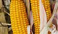 Семена кукурузы П9549, Пионер , фото 2