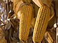 Семена кукурузы ПР39Д81, Пионер, фото 2