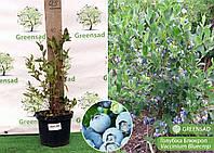Голубика Блюкроп (Bluecrop), 30-50 см