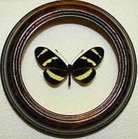Сувенир - Бабочка в рамке Heliconius pachinus. Оригинальный и неповторимый подарок!