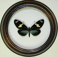 Сувенир - Бабочка в рамке Heliconius doris. Оригинальный и неповторимый подарок!