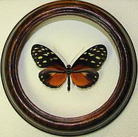 Сувенир - Бабочка в рамке Heliconius hecale. Оригинальный и неповторимый подарок!