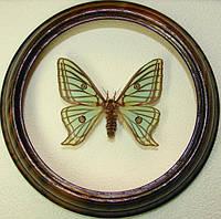 Сувенир - Бабочка в рамке Graellsia isabellae f. Оригинальный и неповторимый подарок!