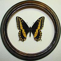 Сувенир - Бабочка в рамке Papilio polyxenes. Оригинальный и неповторимый подарок!