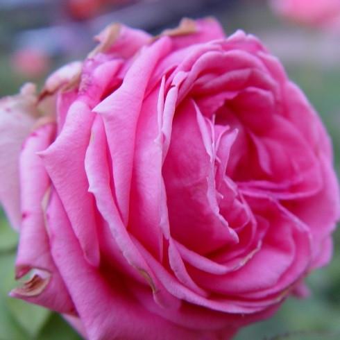 Роза чайно-гибридная Август Ренуар