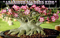 Адениум арабикум Diamond King