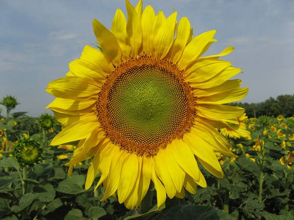 Насіння соняшнику Дарій, фото 2