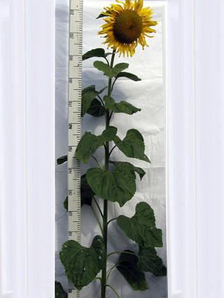 Насіння соняшнику Славсон, фото 2