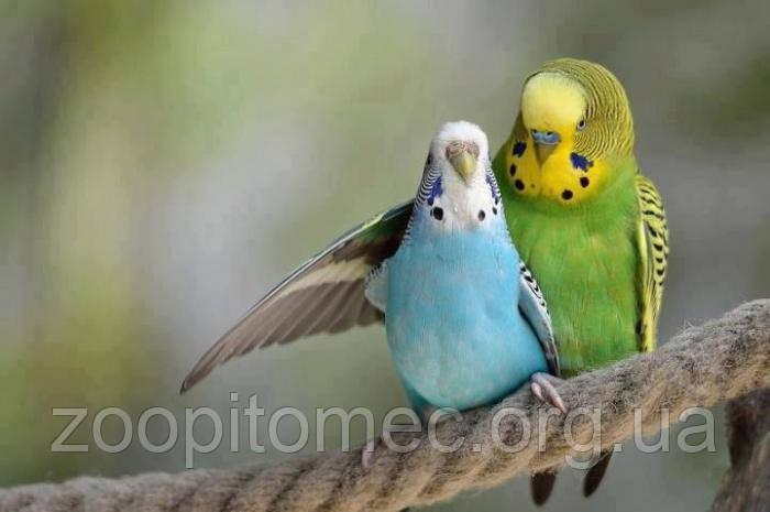 Средние и волнистые попугаи в домашних условиях 9