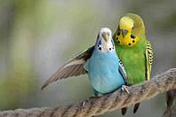 Волнистый попугай взрослый для разведения