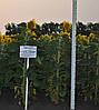 Насіння соняшнику Гусляр (Гуслер)